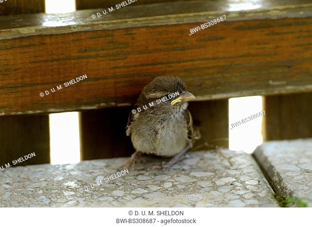 house sparrow (Passer domesticus), fledling sitting at wooden fence, Germany