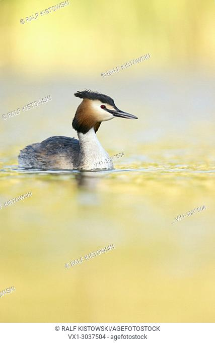 Great Crested Grebe ( Podiceps cristatus ) in breeding dress, swimming on a lake, bright vernal yellow light, spring atmosphere, wildlife, Europe