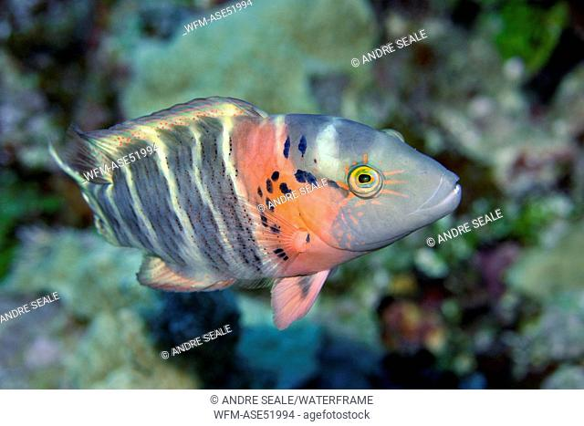 Redbreasted Wrasse, Cheilinus fasciatus, Pohnpei, Caroline Islands, Micronesia