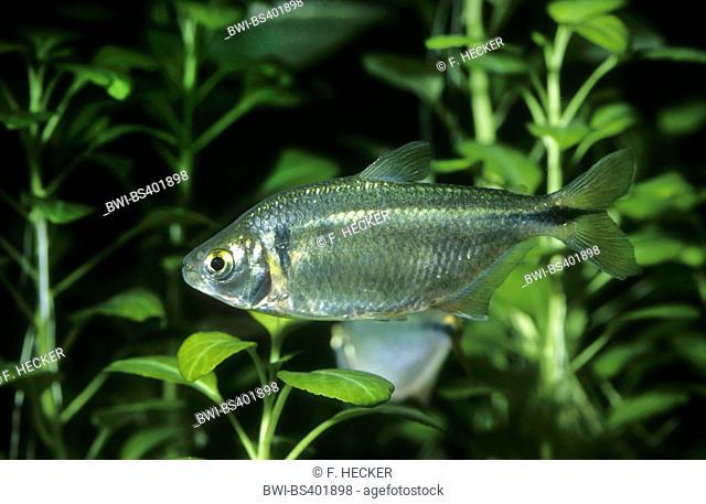 Silvery tetra, Banded Astyanax (Astyanax fasciatus), swimming