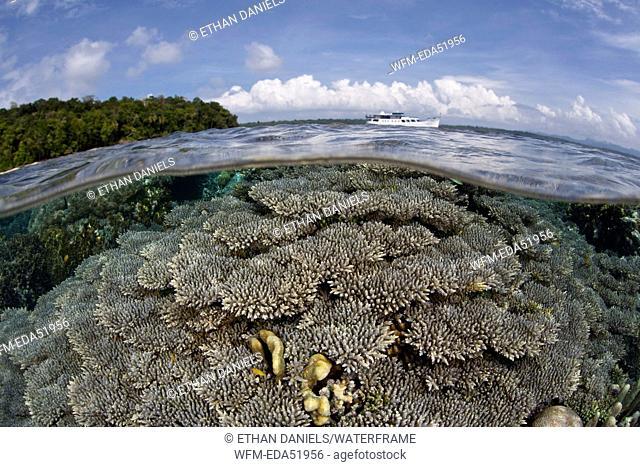 Corals buliding Reef Top, Acropora sp., Melanesia, Pacific Ocean, Solomon Islands