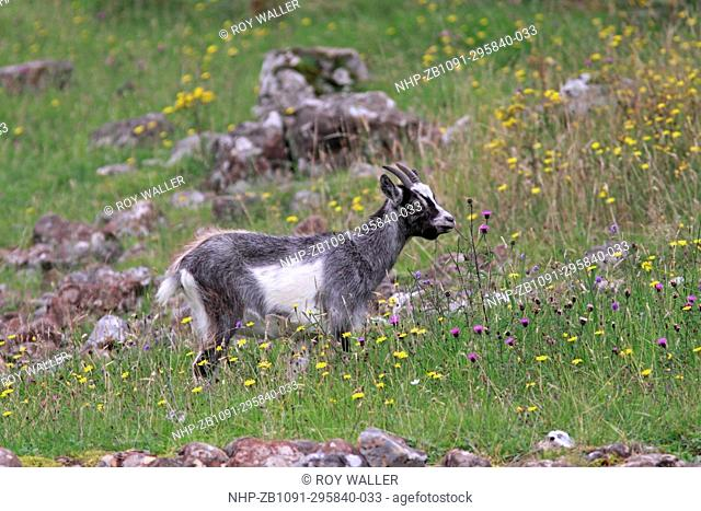 FERAL GOAT (Capra hircus) youngster eating wild flowers, Isle of Mull, Scotland, August
