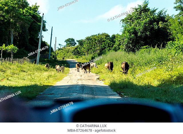 Cuba, highway, herd of buffaloes