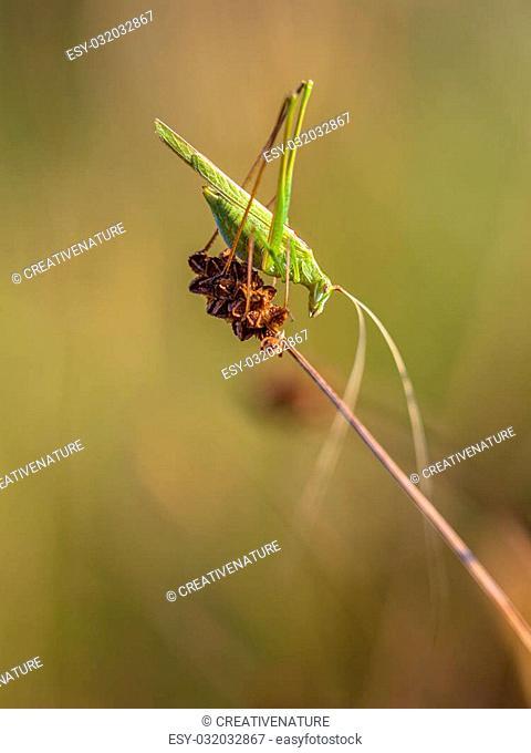 Phaneroptera falcata is a species of 'katydids crickets' belonging to the family Tettigoniidae subfamily Phaneropterinae