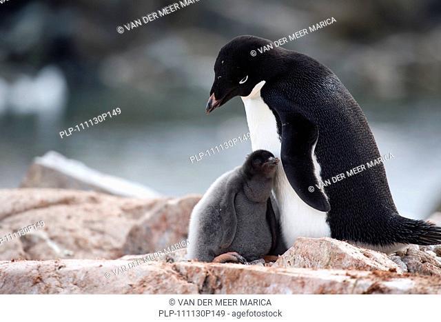 Adélie Penguin Pygoscelis adeliae with chicks on nest in rookery at Petermann Island, Antarctica