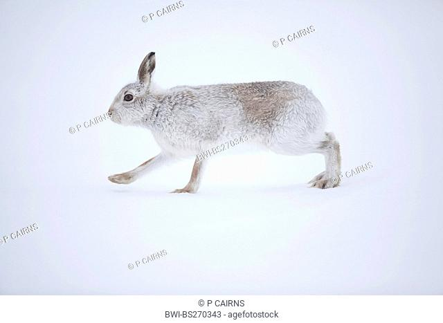 blue hare, mountain hare, white hare, Eurasian Arctic hare Lepus timidus, walking in the snow in winter pelage