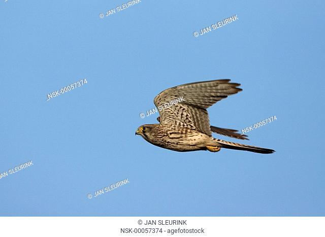 Eurasian Kestrel (Falco tinnunculus) flying, Zeewolde, Flevoland, The Netherlands, Flevoland