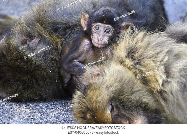 Macaques in the Rock of Gibraltar(Macaca sylvanus). British Territory. United Kingdom