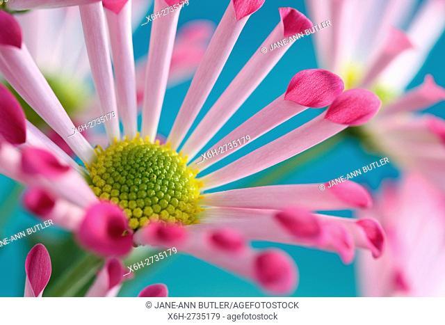 pink spoon chrysanthemums, highly decorative joyful summer flower